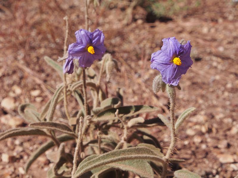Solanum_plastisexum